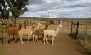 alpaca in the home camps