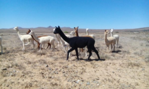 alpaca males in the veld
